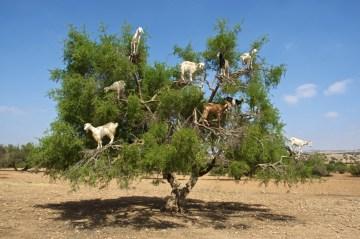 la-foto-del-dia-las-curiosas-cabras-trepadoras-de-arboles-de-marruecos